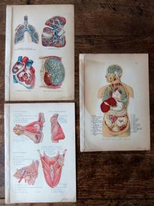 Anatomical Print (B0218-02)