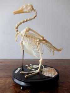 Skeletal Specimen (Bird) (A0219)
