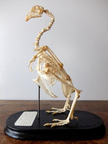 Skeletal Specimen (Bird) (C0318)
