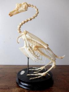 Skeletal Specimen (Bird) (B0318)