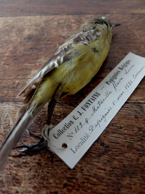 Educational Taxidermy 【Bird】 (A0419-01)