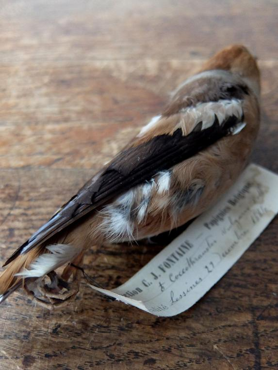 Educational Taxidermy 【Bird】 (A0419-04)