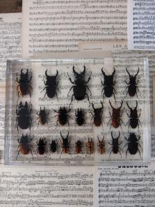 Insect Specimen 【21 Stag Beetles】 (A0615)