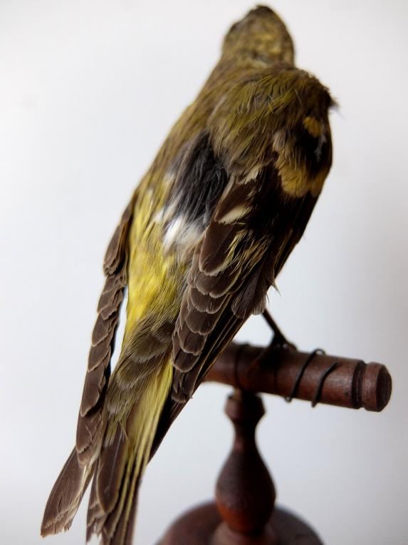 Taxidermy (Bird) (B0617)