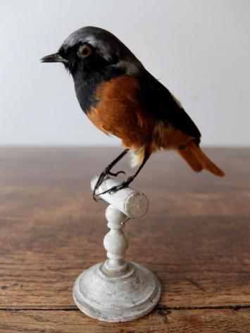 Taxidermy (Bird) (B1019)