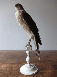 Taxidermy (Bird) (B1017)