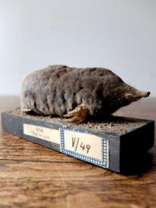 Taxidermy (Mole) (A1017-01)