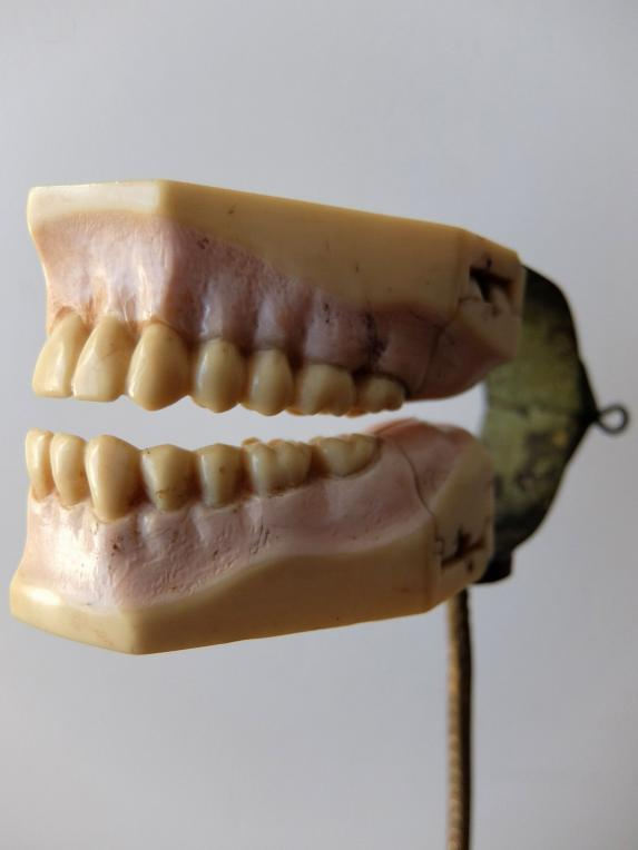 Dental Display Teeth (B1117)